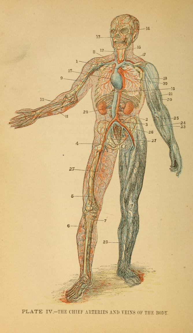 33 best Anatomica images on Pinterest | Human anatomy, Anatomy and ...