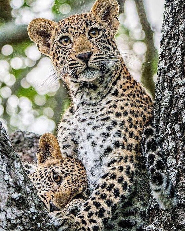 "10.8k Likes, 28 Comments - Animals - Wildlife (@wildlifeowners) on Instagram: ""Photo via : ayustar #wildlifeowners"" #BigCatFamily"
