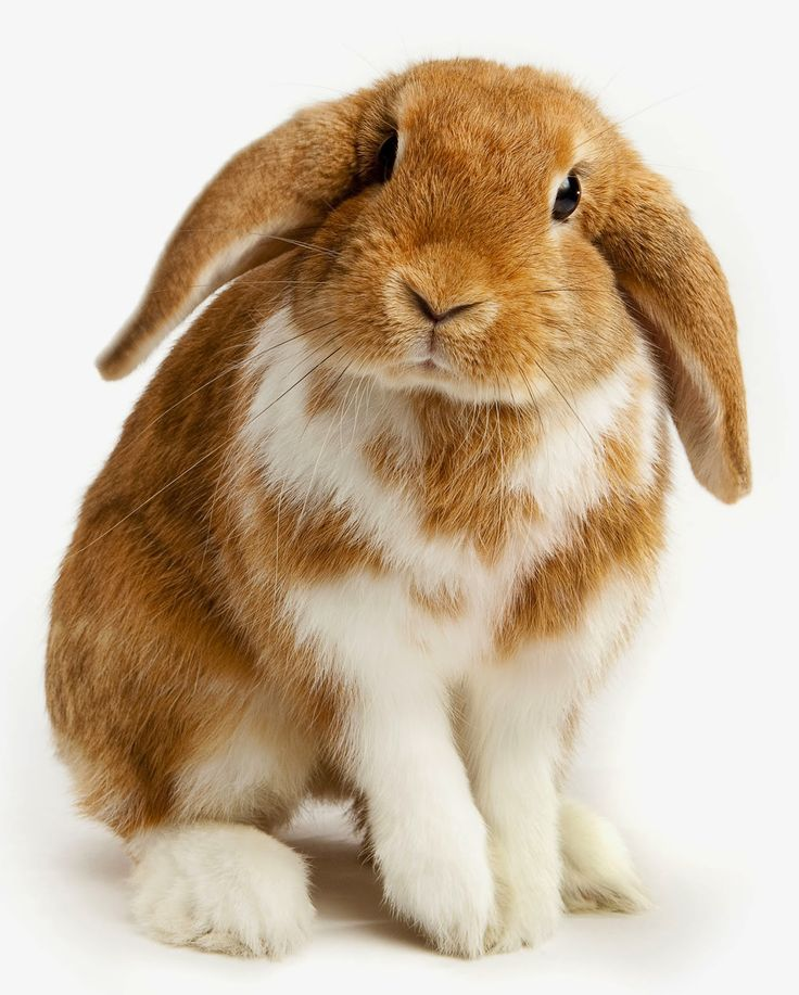 Rabbits -Five Small Pets For Sale That Will Steal Your Heart. Read more: http://whatwomenloves.blogspot.com/2015/01/five-small-pets-for-sale-that-will.html