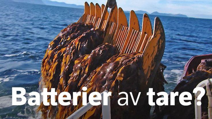 Batterier kan bli både mer miljøvennlige og lettere ved hjelp av alginat fra norsk tare, ifølge forskere. Og råvarene kommer fra en fabrikk på Karmøy.