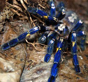 gooty-ornamental-tarantula