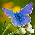 Common Blue Butterlfy,  Male.    Canada, Great Britain and Central Europe.