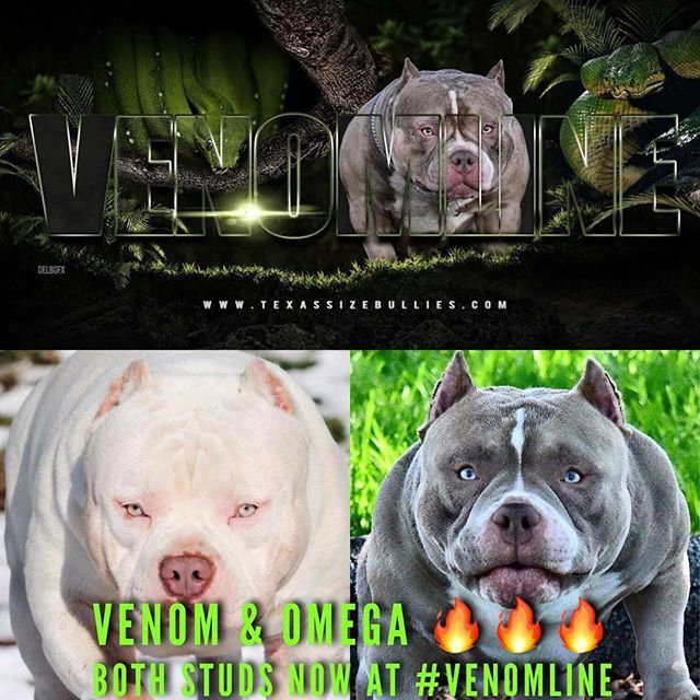 Venomline South American Bully American Bully Kennels Bully Breeds