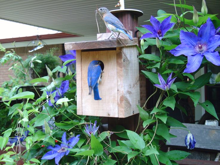 Bluebirds have found a house to build a nest in, a beautiful blooming Clematis. Love both of them!!