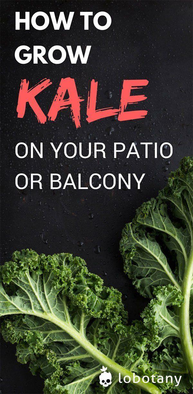 How To Grow Kale Balcony Herb Gardens Home Vegetable Garden