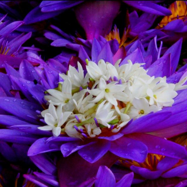 Temple Flowers Kandy Sri Lanka Beautiful Flowers Bush Plant Flowers Petals