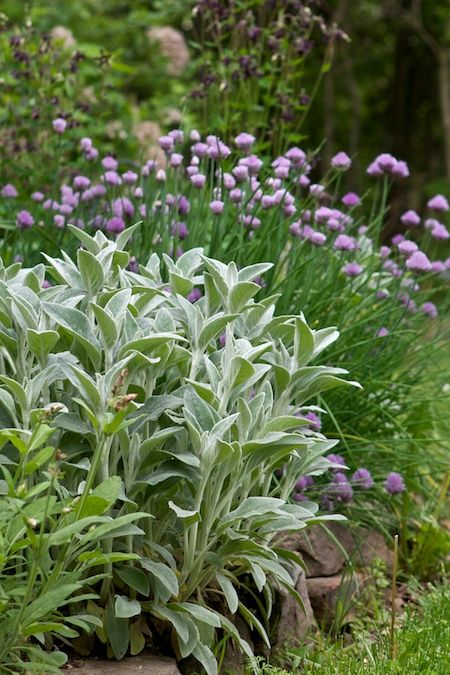 Old standbys: Lambs ears (Stachys byzantina) and chives (Allium schoenoprasum). Great combo and easy to propagate. Photo via Chiot's Run.