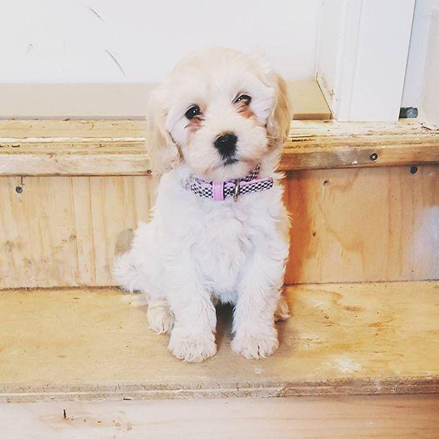 Poochon Poodle Bichon Frise Hybrid Dogs Dog Training Cute Dogs