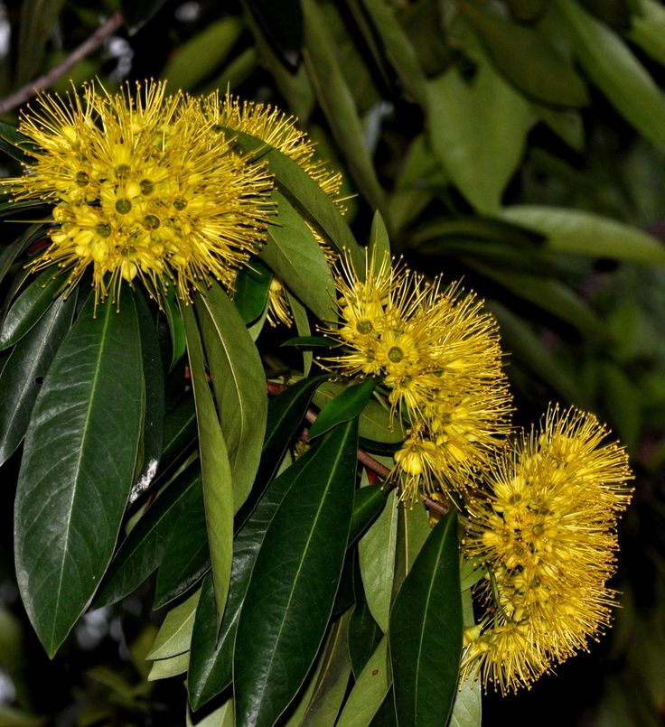 Xanthostemon chrysanthus, Singapore 29Sept09 | Xanthostemon … | Flickr - Photo Sharing!