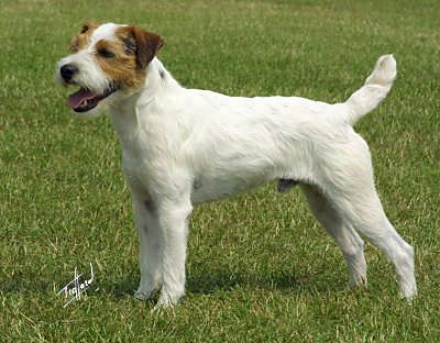 Parson Russell Terrier. They are members of the terrier group. They are great fox hunters. They stand at 13-14 inches at the shoulder and weigh about 13-17 pounds.