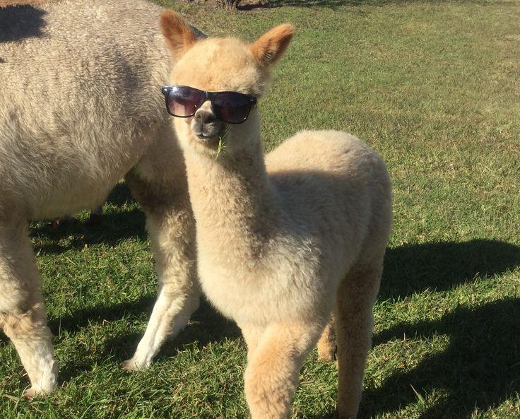 https://i.pinimg.com/736x/2a/de/ee/2adeeed89c09b6910629d70679992b66--llama-alpaca-mountain-goats.jpg