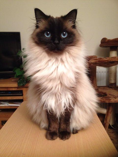 Poppy my beautiful ragdoll cat