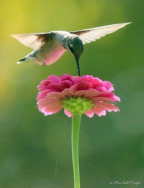Hummingbird and Pink Zinnia by Jennifer MacNeil Photography.