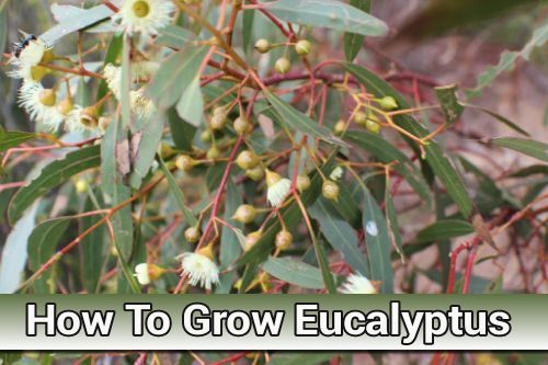 how to grow eucalyptus from cuttings