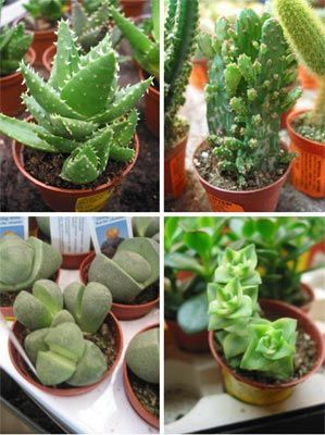 Types of cactus their characteristics how to make soil for Different types of soil and their characteristics