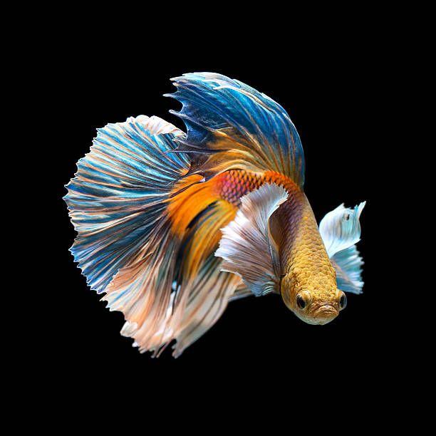 Betta Splendens Betta Ikan Akuarium Dan Hewan