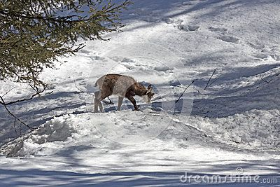 A hungry puppy chamois grazing in the snow, in the National Park of Gran Paradiso