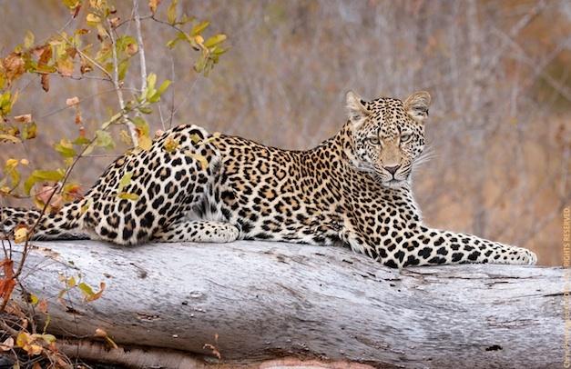 SEMI FINALIST: Chris Prestegard – Daughter of the Kikilezi female leopard