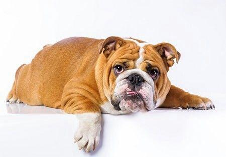 Olho Vivo™: Bulldog inglês - O Bulldog inglês é um cão que precisa de cuidados especiais, pois ele tem um focinho achatado que dificulta sua respiração. O preço médio fica entre R$4.000,00 e R$5.000,00. 😳