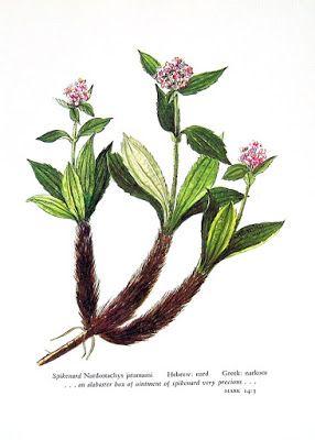 Ficha aromática: Nardo (Nardostachys jatamansi)