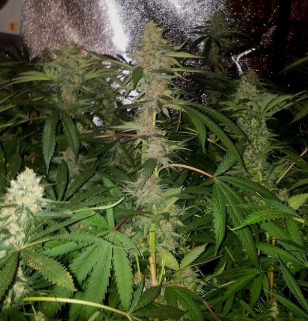 Fases en el Cultivo de la Marihuana o Cannabis II (Floración y Cosecha)