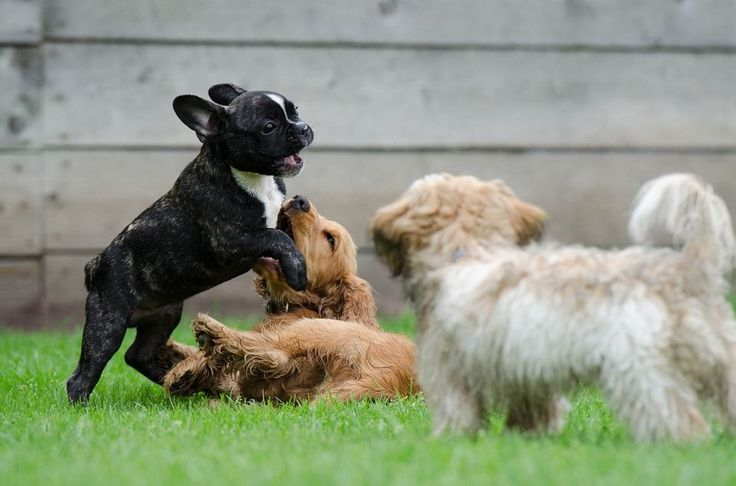 Spielende Welpen, Junge Hunde, Französische Bulldogge