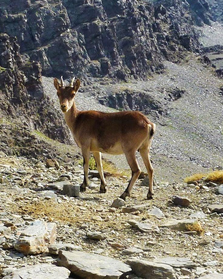 Joven macho de Cabra Montes cerca de La Laguna del Caballo