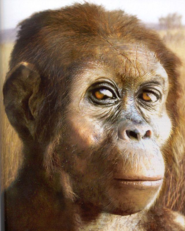 Australopithecus afarensis - an extinct hominid that lived between 3.9 and 2.9…