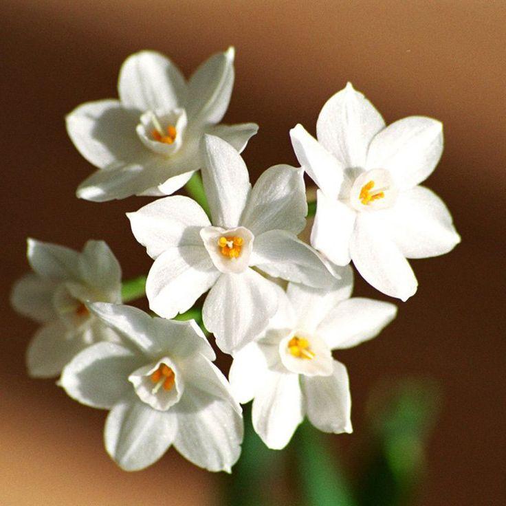 Gardening4Less Paperwhite Flower Bulbs - 4009-3