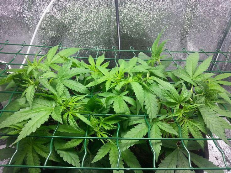 Amnesiac in scrogg. Day 24 of the grow.