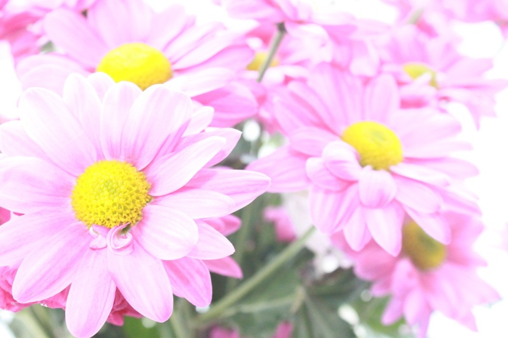 Washed out Chrysanthemums