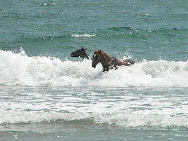 To get respite from the flies in the hot summer months, the horses often head down from the marshes towards the ocean and splash around in the water, just like the thousands of humans who vacation at the OBX each year!