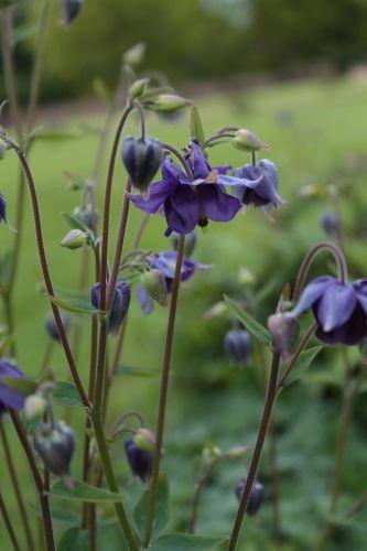 Aquilegia vulgaris - columbine - AKLEJA. Jan sowing (can be sown on top of snow). Blooms may-jul