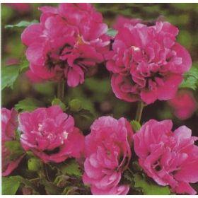 Hibiscus syriacus 'Duc de Brabant' - Hibiskus / Garteneibisch 'Duc de Brabant' jetzt günstig in Ihrem MEIN SCHÖNER GARTEN - Gartencenter schnell und bequem online bestellen.