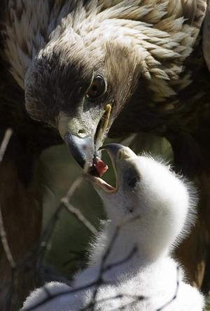 **Golden Eagles mate for life, monogamous. Females lay 1 to 4 eggs per year and both parents incubate.