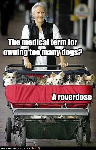 Nice pun, but how do you keep all those Chihuahuas in the stroller???