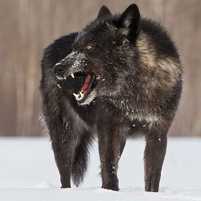 Black Timber Wolf By Chris Monsano Jr Cjm Photography