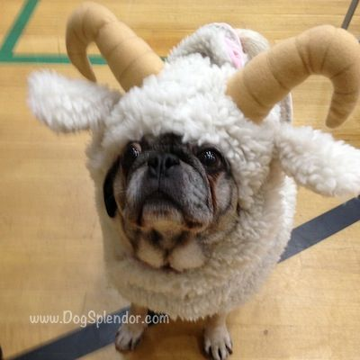 Seattle Pug Rescue's Pug-o-Ween party: cutest lil ram I've ever seen.