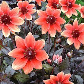 8 best full sun perinnials images on pinterest diy landscaping full sun perennials google search mightylinksfo