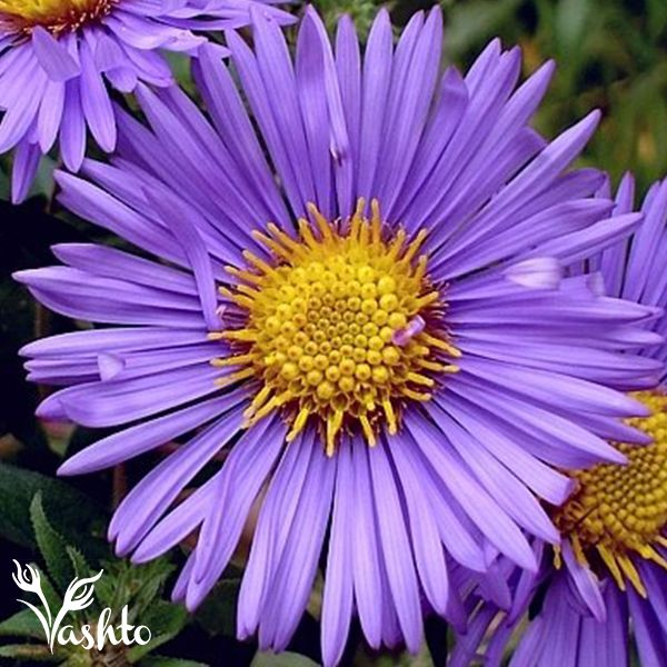 MICHAELMIS DAISY - Can be seen in purple, pink and white, they are usually used as a filler, but when put together in a mass bunch they make a lovely statement.