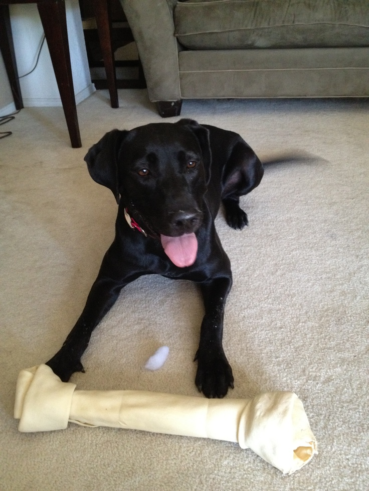 Beautiful female black lab/great dane mix named Rylee Jo ...