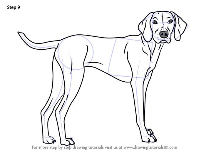 Learn How To Draw A Vizsla Dog Dogs Step By Step Drawing Tutorials Vizsla Dogs Dog Drawing Dog Line Drawing