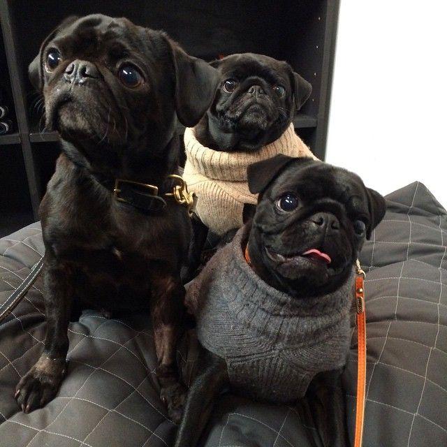 Black Pug family.