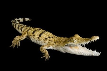 The Philippine Crocodile is one of the most rare crocodile species on the planet. Photo Credit: National Geographic