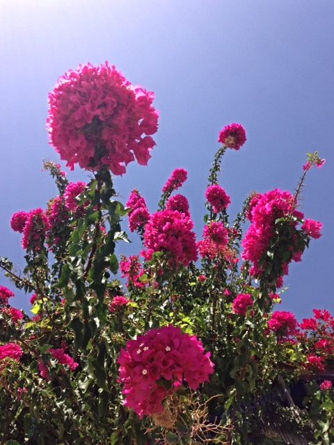colourful bougainvillea on Crete