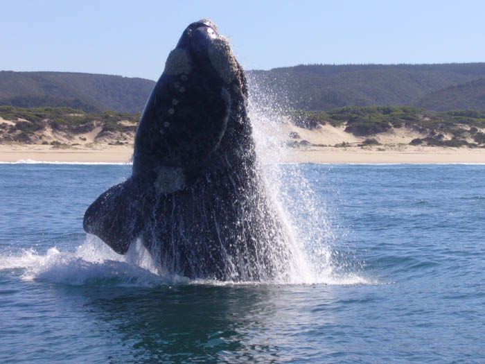 Whale Season in Plettenberg Bay...