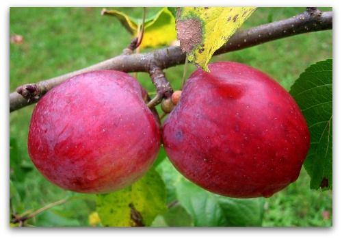 DIY - Apple Jelly Recipe, How to make fresh apple jelly at home