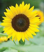 Sunflower, Jua Maya Hybrid,