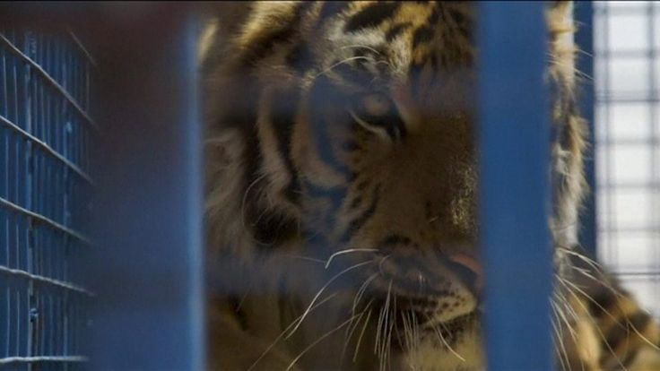 Aleppo zoo animals rescued and taken to Turkey https://tmbw.news/aleppo-zoo-animals-rescued-and-taken-to-turkey  Animals trapped in Aleppo's damaged zoo have finally been rescued after more than six years of war.The animals, including lions, tigers and bears, have been taken to a rehabilitation centre in western Turkey from the abandoned Aalim al-Sahar (Magic World) zoo.The rescue effort was a joint project by charity Four Paws and the Turkish environment ministry.Vets are now treating the…