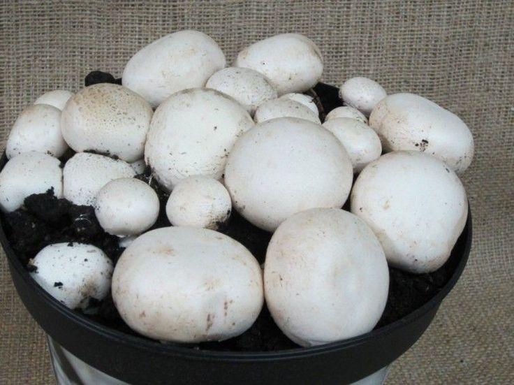 cultivar champiñones - cultivo
